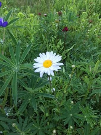 A Lovely daisy - meaning of daisy