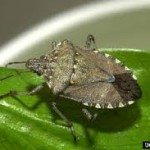What is a Stink Bug?