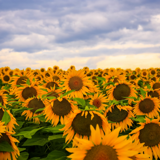 Sunflowers for the Summer